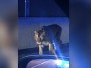 Thế giới - Hổ dữ nhảy qua hàng rào, đánh nhau với chó nhà ở Mỹ