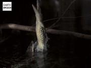 Thế giới - Kinh dị cá sấu từ dưới nước phi dựng đứng lên cao đớp mồi
