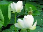 Sức khỏe đời sống - Tác dụng kỳ diệu của cây sen