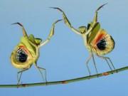 Ảnh đẹp: Cặp bọ ngựa khiêu vũ trên thân cây