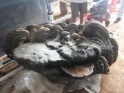 Tin tức trong ngày - Phát hiện cây nấm linh chi ngàn tuổi, nặng gần 200kg