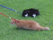 Cười 24H - Clip về chú mèo Đệ nhất lười