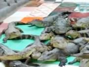 Video An ninh - Thương lái Trung Quốc lại ráo riết thu mua cá sấu