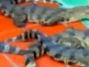 Thị trường - Tiêu dùng - Thương lái Trung Quốc lại ráo riết thu mua cá sấu