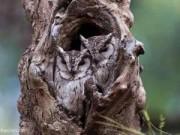 """Phi thường - kỳ quặc - Những chú cú mèo """"tàng hình"""" trong thiên nhiên"""