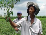Thị trường - Tiêu dùng - Nông dân khóc ròng vì trồng ớt không trái