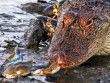 Ảnh đẹp: Cá sấu đói bất lực trước con cua nhỏ