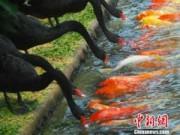 Tin tức trong ngày - TQ: Đàn thiên nga mớm mồi cho cá chép