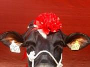 Ảnh đẹp: Hoa hậu bò sữa ở Việt Nam