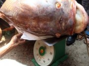 Tin tức trong ngày - Cuộc vật lộn với cá hô trăm triệu giữa TP.HCM
