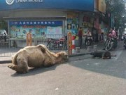 Tin tức trong ngày - TQ: Chặt cụt chân lạc đà để dắt đi ăn xin