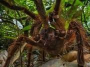 """Phi thường - kỳ quặc - Phát hiện nhện """"khổng lồ"""" lớn nhất thế giới"""