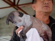 """Phi thường - kỳ quặc - Sốc với con """"voi lợn"""" quái dị ở Trung Quốc"""