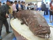 Phi thường - kỳ quặc - Phát hiện cá mú khổng lồ nặng 190kg