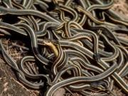 Phi thường - kỳ quặc - Phát hiện 102 con rắn trong căn nhà ở Canada