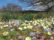 Điểm du lịch - Thiên đường hoa ở những miền đất khô cằn Nam Phi