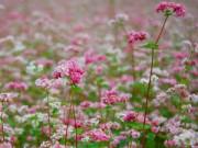 Bạn trẻ - Cuộc sống - Giới trẻ rủ nhau lên Hà Giang ngắm hoa tam giác mạch