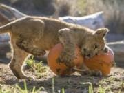 Tin tức trong ngày - Ảnh đẹp: Sư tử cũng chơi... Halloween