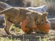 Ảnh đẹp: Sư tử cũng chơi... Halloween