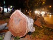 Tin tức Sony - HN: Hàng trăm cây cổ thụ bị đốn hạ vì đường sắt trên cao