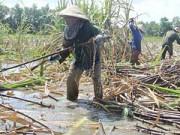 """Giá cả - Nước ngập tràn ruộng, lũ """"cuốn phăng"""" giá mía"""