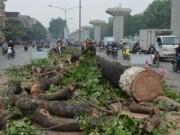 Tin tức trong ngày - Hà Nội tiếp tục chặt bỏ hàng trăm cây cổ thụ