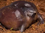 Phi thường - kỳ quặc - Những loài động vật xấu xí cần được bảo vệ