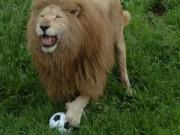 Phi thường - kỳ quặc - Thú vị xem sư tử chơi bóng, chó lái xe