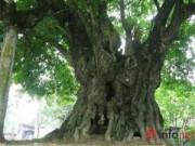 Du lịch - Chiêm ngưỡng cây thị nghìn tuổi ở Hà Nội