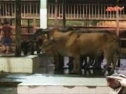 Video An ninh - Phát hiện thêm vụ bơm nước tăng trọng cho bò