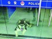 Tin tức trong ngày - TQ: Chú chó lạc chủ đến cầu cứu cảnh sát