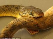 """Phi thường - kỳ quặc - Kỳ lạ rắn """"tự tử"""" bằng nọc độc của chính mình"""
