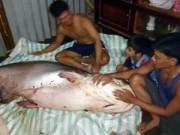 """Tin tức trong ngày - Đồng Tháp: Bắt được cá tra dầu """"khủng"""" nặng gần 140kg"""