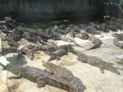 Tin tức trong ngày - Về nơi nhà nhà nuôi cá sấu như... nuôi lợn