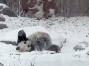 """Tin tức trong ngày - Gấu trúc """"phát cuồng"""" khi lần đầu nhìn thấy tuyết"""