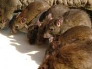 Sức khỏe đời sống - Bộ Y tế: Bệnh dịch hạch có nguy cơ xâm nhập Việt Nam