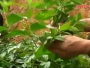 Video An ninh - Điên Biên: Giật mình số người chết vì tự tử bằng lá ngón