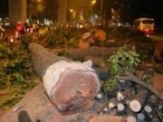 Tin tức trong ngày - HN: Sẽ tiếp tục chặt hạ cây xanh trên đường Kim Mã
