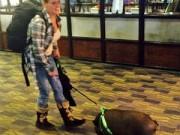 Phi thường - kỳ quặc - Lợn bị đuổi khỏi máy bay vì khiến hành khách sợ hãi