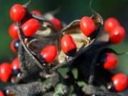 Phi thường - kỳ quặc - Rùng mình trước 10 loài cây độc nhất thế giới