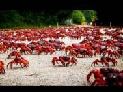 Tin tức trong ngày - Ảnh đẹp: Cua đỏ di cư trên đảo Giáng sinh