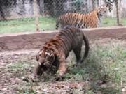 """Tin tức trong ngày - """"Đột nhập"""" trại nuôi hổ lớn nhất ở Thanh Hóa"""