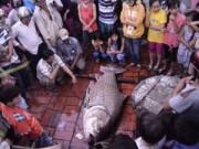"""Tin tức trong ngày - Vĩnh Long: Dân ùn ùn đi xem cá hô """"khủng"""""""