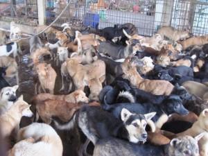 Tin tức trong ngày - Về làng buôn chó lớn nhất xứ Thanh