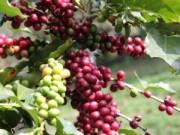 Thị trường - Tiêu dùng - Đang vụ thu hoạch, cà phê liên tiếp rớt giá