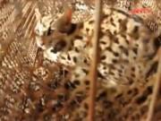 Video An ninh - Giật mình cơ sở buôn hàng tấn động vật quý hiếm