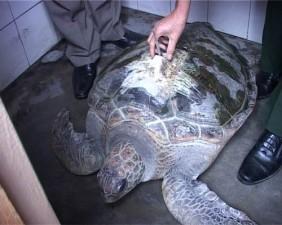 Tin tức trong ngày - Ngư dân Huế bắt được rùa biển có gắn thiết bị định vị
