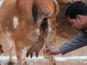 Phi thường - kỳ quặc - Giải khát bằng... nước tiểu bò ở Ấn Độ