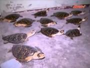 Video An ninh - Lại phát hiện cơ sở chế tác rùa biển lớn tại Nha Trang