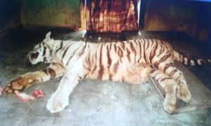 Thế giới - Ấn Độ: Hổ trắng thảm bại khi tử chiến với rắn độc
